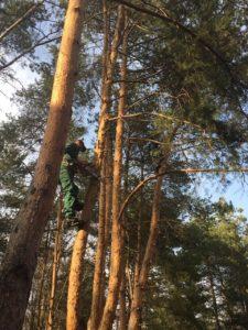 Обрезка деревьев в Московской области компанией Чистый Лес