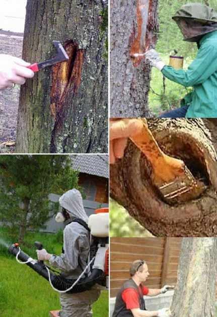 Лечение коры деревьев