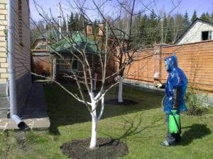 Специалист опрыскивает плодовое дерево от вредителей и болезней