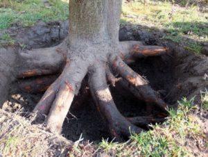 Удаление корней большого дерева