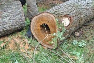 Опасное дерево со сгнившим дуплом