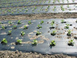 Мульчирование почвы против сорняков