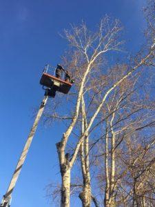 Момент спиливания дерева с автовышки