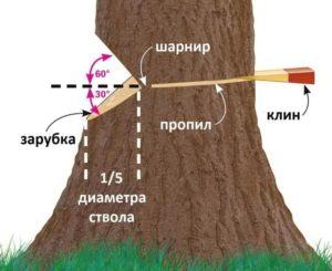 Как правильно завалить дерево бензопилой