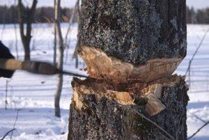 Штраф за вырубку деревьев